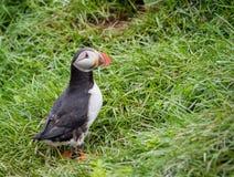 Papagaio-do-mar (Lunda) Fotos de Stock