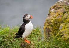 Papagaio-do-mar (Lunda) Foto de Stock