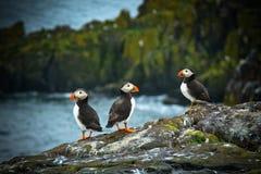 Papagaio-do-mar na ilha de maio Fotos de Stock Royalty Free