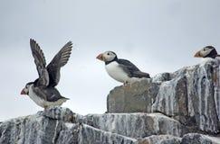 Papagaio-do-mar na parte superior do penhasco. Imagem de Stock Royalty Free