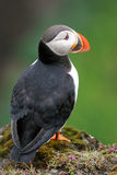 Papagaio-do-mar na rocha, Islândia Imagens de Stock Royalty Free