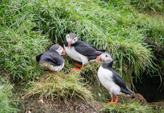 Papagaio-do-mar no ninho Imagens de Stock