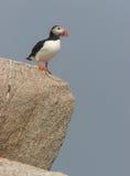 Papagaio-do-mar no penhasco Imagem de Stock
