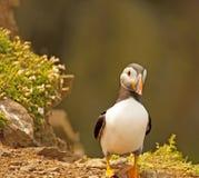 Papagaio-do-mar no penhasco     arctica do fratercula Fotos de Stock Royalty Free