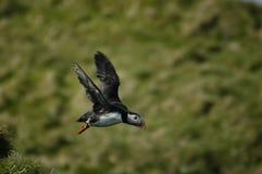 Papagaio-do-mar no vôo Imagens de Stock Royalty Free