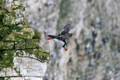Papagaio-do-mar no vôo Fotos de Stock Royalty Free