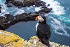Papagaio-do-mar nos penhascos de Latrabjarg, fiordes ocidentais, Islândia fotos de stock royalty free