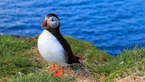 Papagaio-do-mar pelo mar imagens de stock royalty free