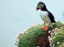 Papagaio-do-mar pensativo Fotos de Stock Royalty Free