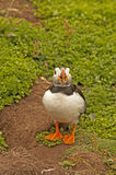 Papagaio-do-mar perto do arctica do fratercula das tocas 3 Foto de Stock