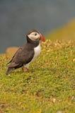 Papagaio-do-mar perto do penhasco 5     arctica do fratercula Imagens de Stock Royalty Free