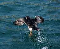 Papagaio-do-mar que anda na água imagem de stock royalty free
