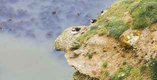 Papagaio-do-mar que aninham-se em Rocky Outcrop Foto de Stock
