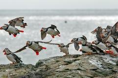 Papagaio-do-mar que voam da ilha de Farne próximo à costa de Escócia Imagem de Stock