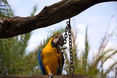 papagaio do Miliampère-núcleo, pássaro na madeira foto de stock