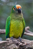 Papagaio do Parakeet de Caatinga Fotografia de Stock Royalty Free