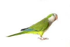 Papagaio do Quaker Imagem de Stock