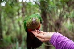Papagaio do rei na mão fêmea fotos de stock royalty free