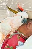 Papagaio do salvamento no ombro dos proprietários fotos de stock