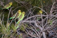 Papagaio do verde de Austrália no por do sol imagens de stock royalty free