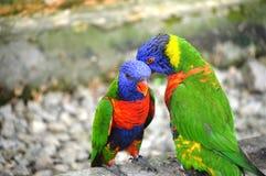 Papagaio dois Imagem de Stock Royalty Free