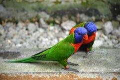 Papagaio dois Fotos de Stock Royalty Free