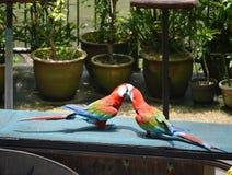 Papagaio dois Imagens de Stock