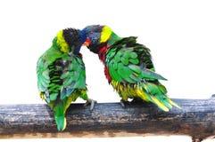 Papagaio dois Eclectus Fotos de Stock Royalty Free