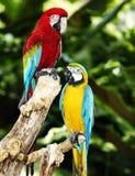 Papagaio dois na floresta húmida verde. Fotos de Stock Royalty Free