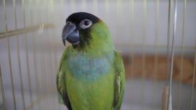 Papagaio doméstico video estoque