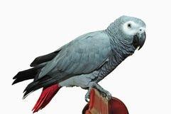 Papagaio domesticado foto de stock