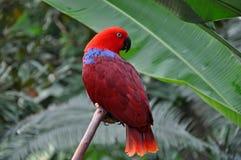 Papagaio eclético vermelho imagem de stock