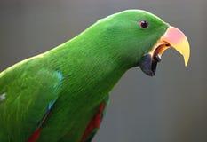 Papagaio em Kuala Lumput Bird Park Foto de Stock