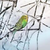 Papagaio em uma filial imagens de stock royalty free