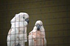 Papagaio em uma gaiola Imagens de Stock Royalty Free