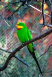 Papagaio gregário que senta-se no ramo de árvore no jardim zoológico de Praga, República Checa imagens de stock