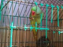 Papagaio indiano do pescoço do anel que come amêndoas foto de stock royalty free