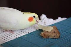 Papagaio insolente do Cockatiel Imagem de Stock Royalty Free