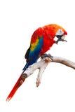 Papagaio isolado Fotos de Stock Royalty Free