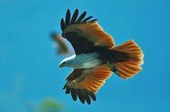 Papagaio @ Langkawi de Brahminy Imagem de Stock Royalty Free