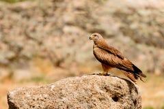 Papagaio marrom adulto em uma pedra grande imagem de stock