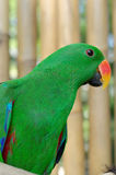 Papagaio masculino de Eclectus Fotografia de Stock Royalty Free