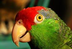 Papagaio mexicano dirigido vermelho Fotografia de Stock