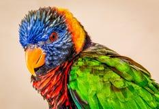 papagaio Multi-colorido Fotos de Stock