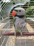 Papagaio na gaiola Imagem de Stock