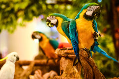 Papagaio Necked Imagem de Stock