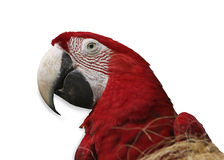 Papagaio no fundo branco Foto de Stock Royalty Free