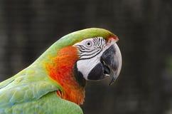 Papagaio no iguacu Imagem de Stock Royalty Free