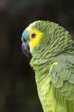 Papagaio no iguacu Fotos de Stock Royalty Free
