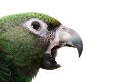 Papagaio novo Fotografia de Stock Royalty Free